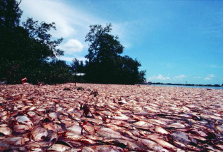 A fish kill was produced by a red tide event in Southwest Florida in 2002. Image courtesy GCOOS