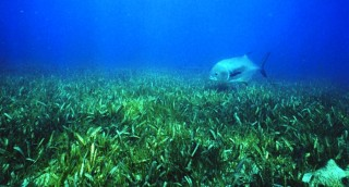 Seagrass is seen as a vital component in Sarasota Bay. Image via Wikimedia Commons