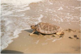 A female loggerhead turtle heads to the sea. Photo by U.S. Fish and Wildlife Service Headquarters via Wikimedia Commons