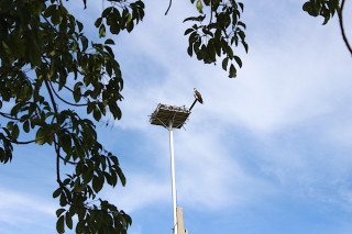 An osprey sits atop the custom-built roost. Photo courtesy City of Sarasota