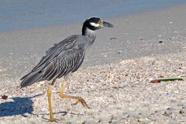 A yellow-crowned night heron makes its way across a beach. Photo by Fran Palmeri