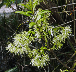 A fringe tree is in bloom at Little Manatee River State Park. Fran Palmeri photo