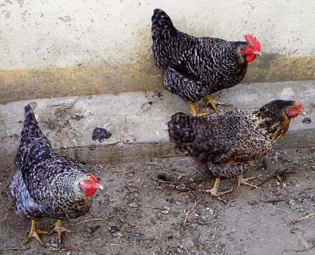 Debate continues over allowing backyard chickens in unincorporated parts of Sarasota County. Photo by David Monniaux via Wikimedia Commons