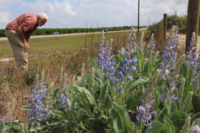 John Beckner looks at sky-blue lupine along a fence. Fran Palmeri photo