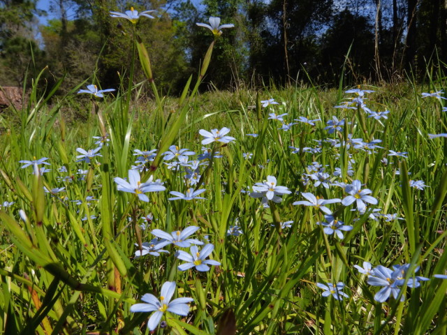 Blue-eyed grass adorns a field. Fran Palmeri photo