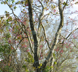 Maples figuratively spring back to life. Photo by Fran Palmeri