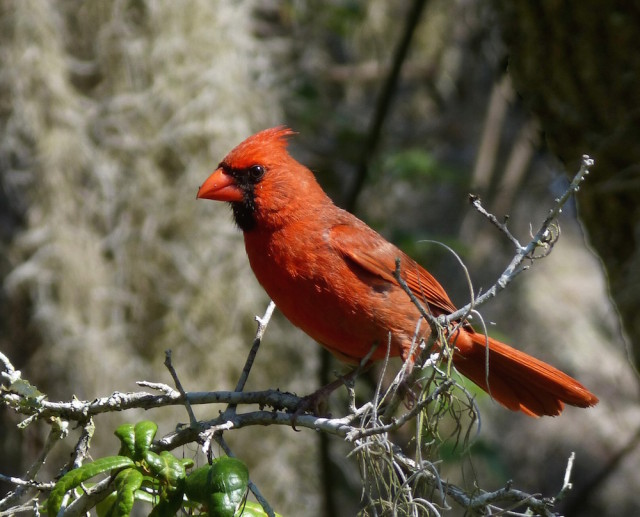 A Northern cardinal is bright against a wooded background. Fran Palmeri photo