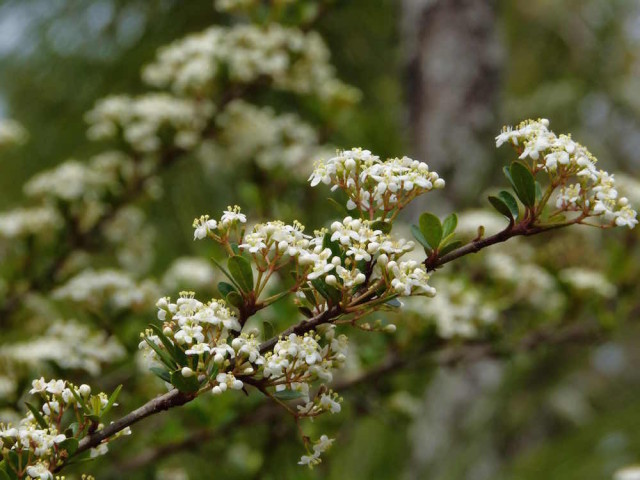 Walter's viburnum adds a soft touch to the landscape. Fran Palmeri photo