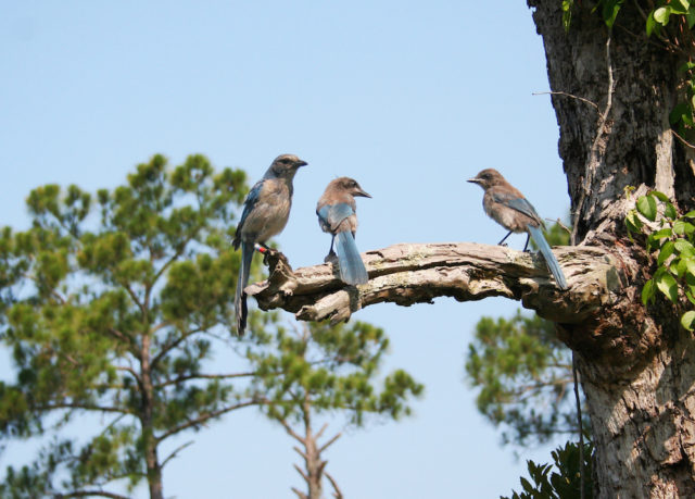 Florida scrub jays gather at Oscar Scherer State Park. Photo by Fran Palmeri