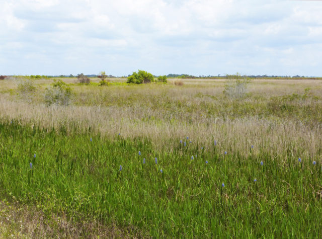 Pickerelweed blooms in the foreground at Kissimmee Prairie Preserve. Photo by Fran Palmeri