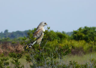 A red-shouldered hawk at Kissimmee Prairie Preserve State Park. Photo by Fran Palmeri