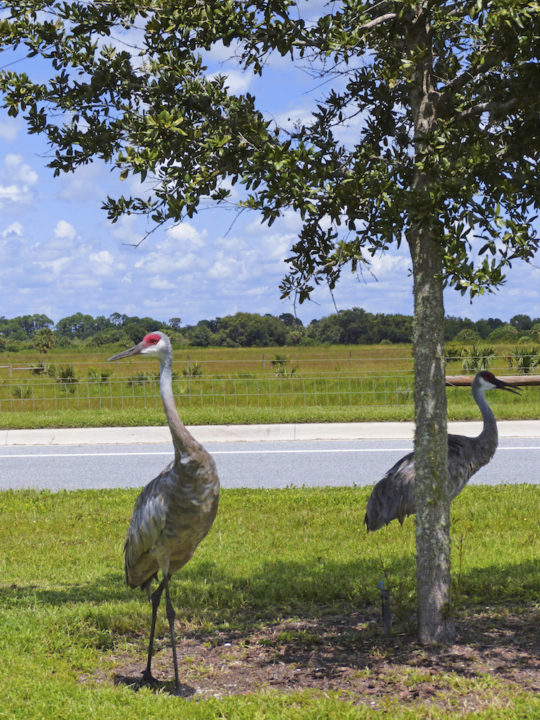 Sandhill cranes pause in a median on Honore Road. Photo by Fran Palmeri