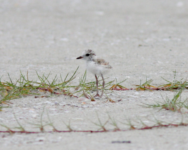 A 4-week-old snowy plover roams Siesta Public Beach. Contributed photo