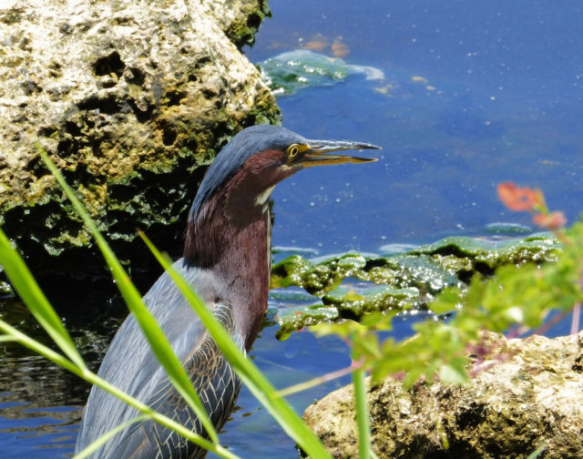 A little green heron poses at the Caloosahatchee River. Photo by Fran Palmeri