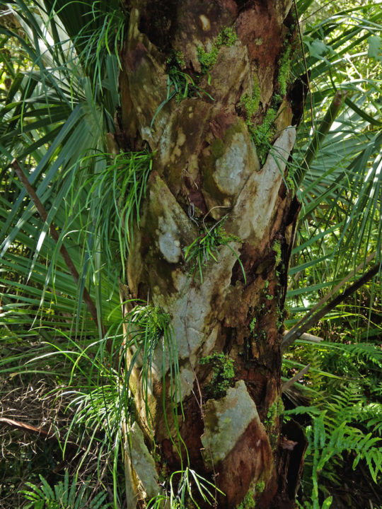 Mosses and ferns thrive on a cabal palm. Photo by Fran Palmeri