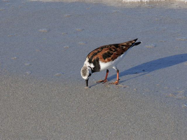 A ruddy turnstone looks for food. Photo by Fran Palmeri