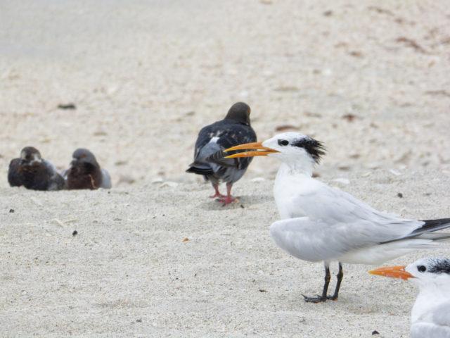 Royal terns enjoy the beach, too. Photo by Fran Palmeri