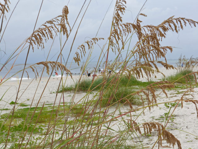 Sea oats protect the dunes. Photo by Fran Palmeri