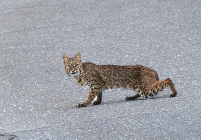 A bobcat pauses on Border Road in Venice. Photo by Fran Palmeri
