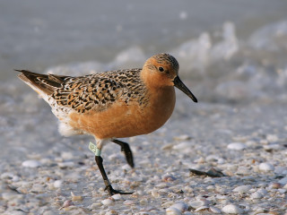A red knot. Image from the Defenders of Wildlife website