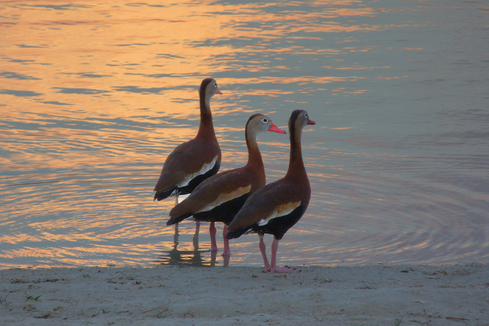 Whistling ducks prepare to roost for the night at Lake Osprey.