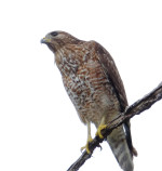 Fran Red Shouldered Hawk 2 Jan. 2016