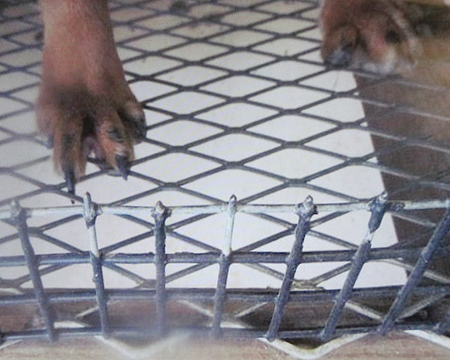 Another photo Karen Ankerstar presented from an Iowa 'puppy mill' shows the footing for this dog in a cage. News Leader photo