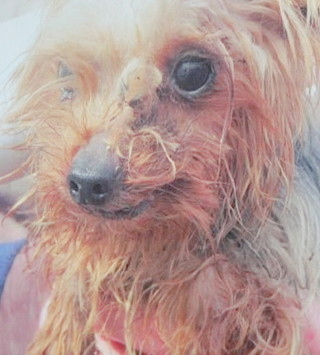 In January, an advocate of the new ordinance showed the board this photo of a puppy from an Iowa 'puppy mill.' File photo