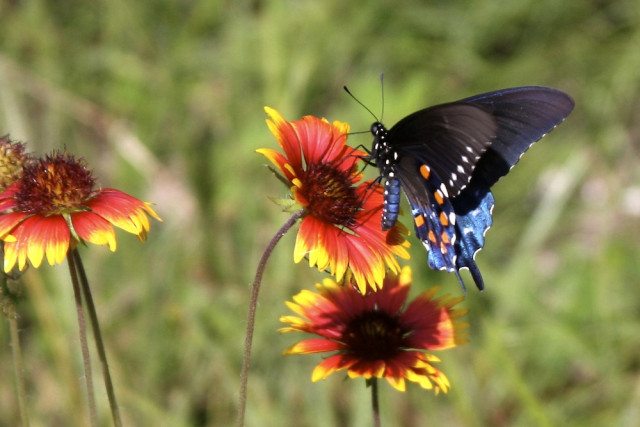 A black swallowtail nectars on blanket flower. Photo by Fran Palmeri