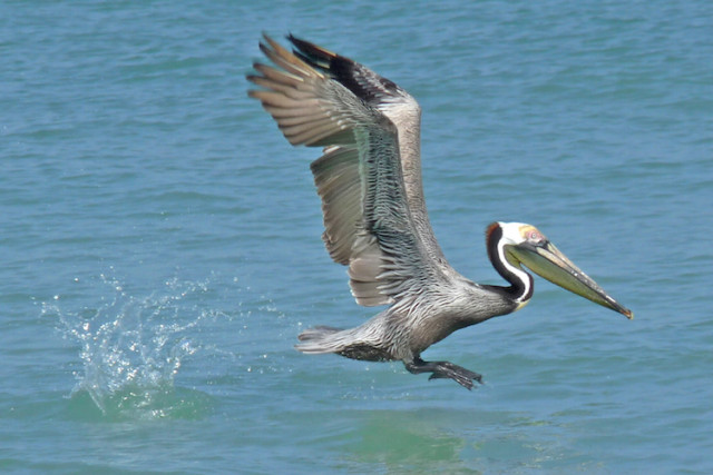 A brown pelican becomes airborne. Photo by Fran Palmeri