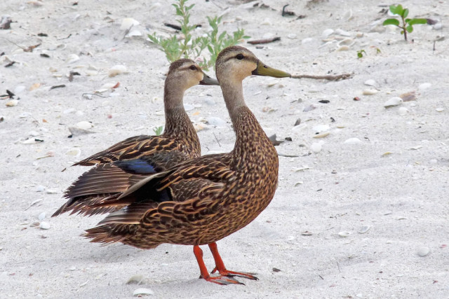 Mottled ducks nest in the back dunes. Photo by Fran Palmeri