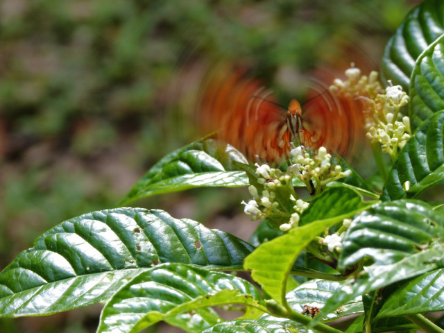 Oh, how this Gulf Fritillary loves his (wild) coffee! Photo by Fran Palmeri