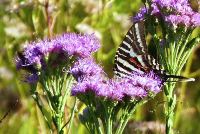 A Zebra Swallowtail delights in Florida paintbrush. Photo by Fran Palmeri