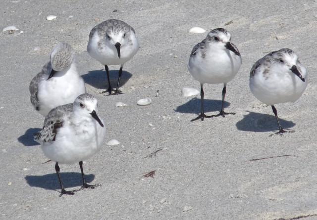 Sanderlings visit for 'season.' Photo by Fran Palmeri