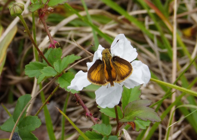 A whirlabout skipper makes itself at home on Southern dewberry. Fran Palmeri photo