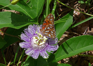 A gulf fritillary rests on a passion flower. Photo by Fran Palmeri