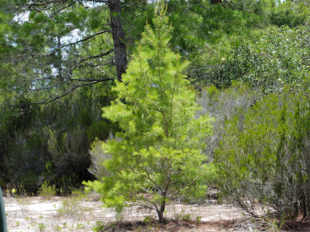 A young sand pine stands in the scrub. Photo by Fran Palmeri