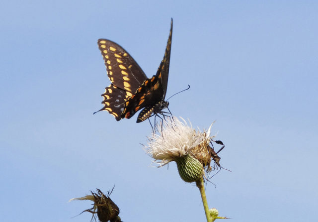 A black swallowtail alights on thistle. Photo by Fran Palmeri