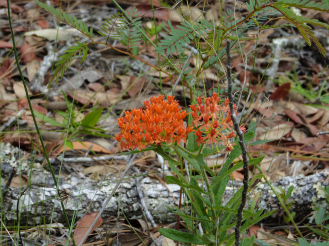 Butterfly weed blooms on the same roadside as the grass-pinks. Photo by Fran Palmeri