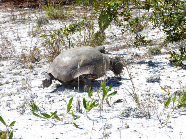 A gopher tortoise rushes to its burrow to escape the heat of the scrub. Photo by Fran Palmeri