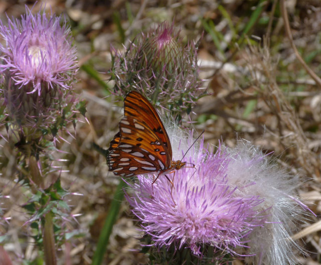 A gulf fritillary drinks in the nectar of thistle. Photo by Fran Palmeri