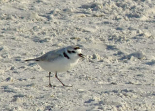 An adult snowy plover blends in with the beach. Photo by Fran Palmeri