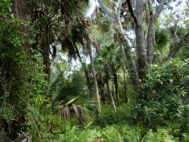 Hammock offers cool respite in Caloosahatchee Creeks Preserve East. Photo by Fran Palmeri