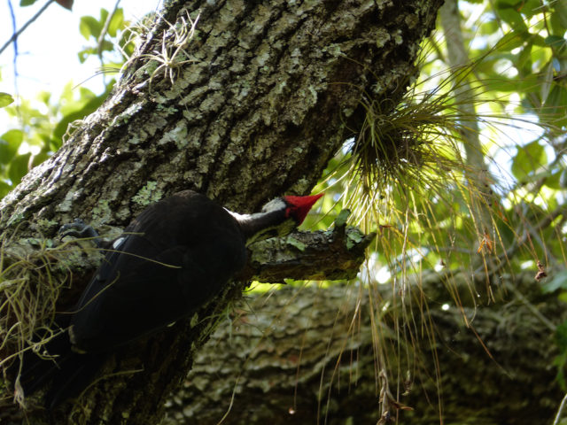 A pileated woodpecker forages for insects in an oak. Photo by Fran Palmeri