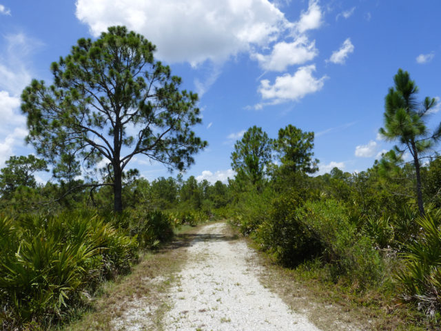 Pines are the matrix of Florida. Photo by Fran Palmeri