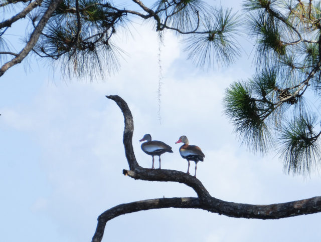 Whistling ducks find a perch at Spirit of the Wild. Photo by Fran Palmeri