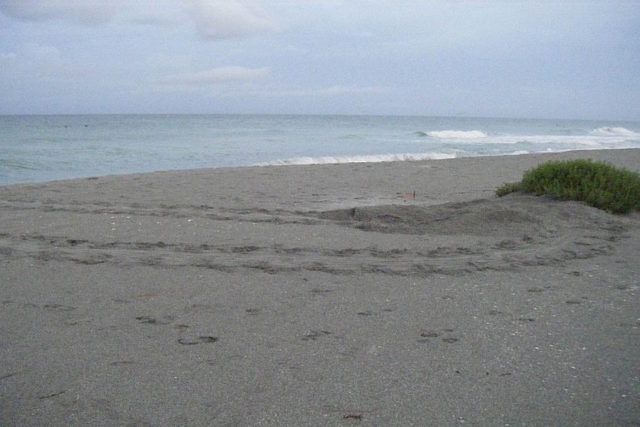 Turtle tracks are evident on the beach. Photo courtesy Mote Marine