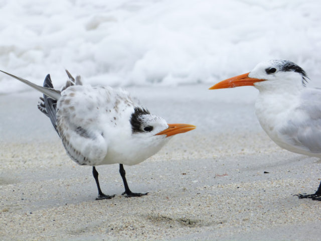 No more free lunch for this royal tern chick! Photo by Fran Palmeri