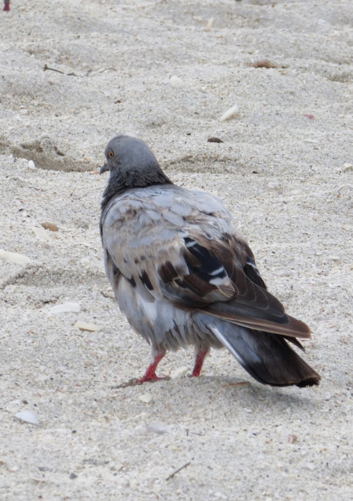 Pigeons are the 'riffraff' among the shorebirds. Photo by Fran Palmeri