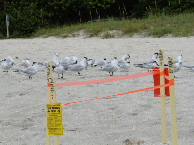 Royal terns gather near a sea turtle's nest. Photo by Fran Palmeri